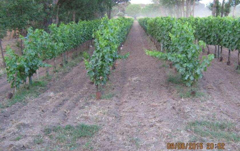 Location de vacances - Gîte à Vidauban - Les vignes de la propriété