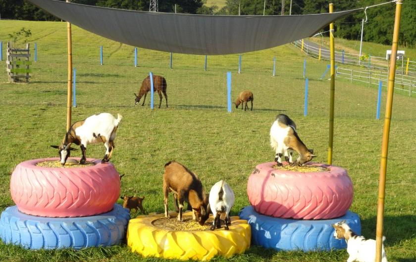 Location de vacances - Appartement à Pouillon - Nos chèvres naines rigolotes.
