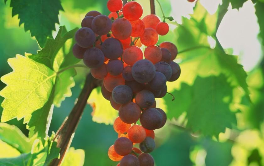 Location de vacances - Gîte à Orschwiller - Raisins Vins...