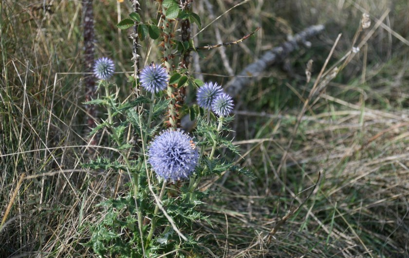 Location de vacances - Chambre d'hôtes à Meyrueis - flore très variée des causses et du massif de l'Aigoual