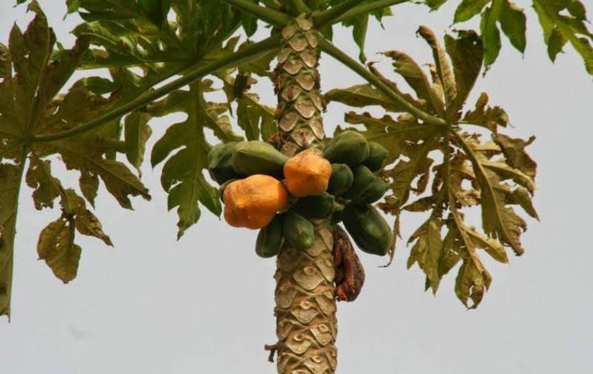 Location de vacances - Chambre d'hôtes à Saly - Suivant la saison des arbres fruitiers sur place : mangues, papayes, citrons.