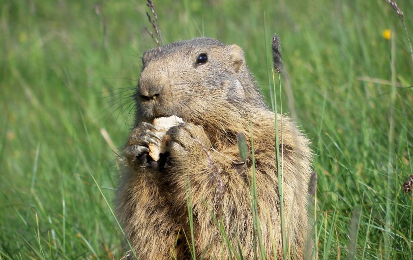 Location de vacances - Chalet à Les Saisies - Gouter d'une marmotte à Bisanne
