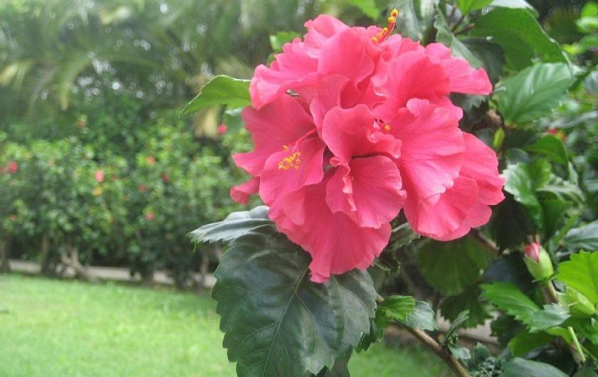 Location de vacances - Appartement à Sainte-Anne - Une Hibiscus du jardin