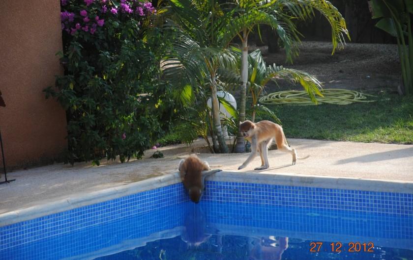 Location de vacances - Maison - Villa à Nianing - Quand les singes  nous rendent visite! Mais sont très peureux!