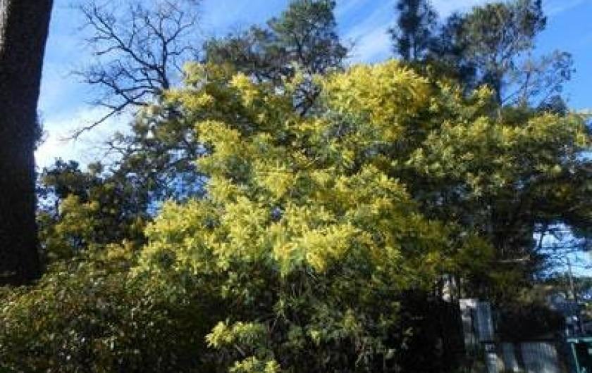 Location de vacances - Villa à Gujan-Mestras - mimosa en février
