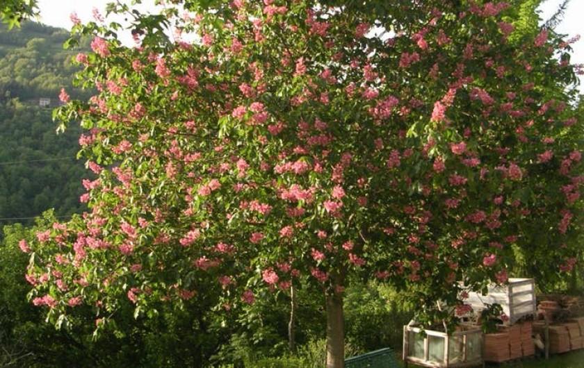 Location de vacances - Gîte à Saint-Victor-et-Melvieu - marronnier à fleurs roses devant le gîte
