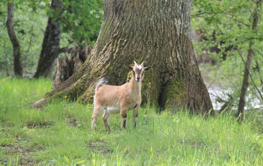 Location de vacances - Maison - Villa à Cercy-la-Tour - Chèvre sur la propriété
