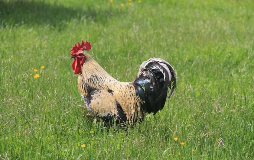 Location de vacances - Maison - Villa à Cercy-la-Tour - Coq de la ferme