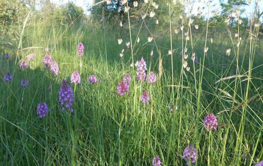 Location de vacances - Bungalow - Mobilhome à Le Buisson-de-Cadouin - Orchidées dans le champs autour des bingalows