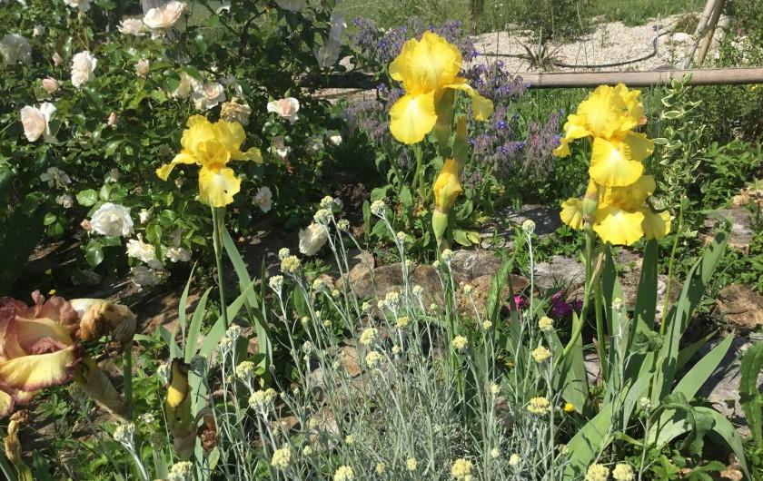 Location de vacances - Gîte à Lendou-en-Quercy - iris à grande fleurs des jardins