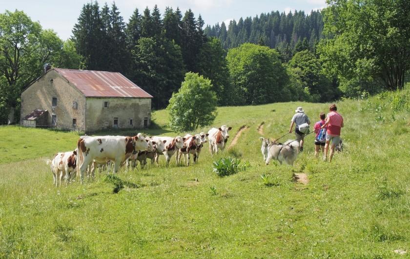 Location de vacances - Chalet à La Pesse - Randonné pédestre au milieu des vaches