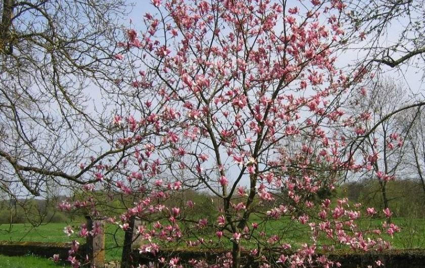 Location de vacances - Chambre d'hôtes à Cenans - Cette année, le magnolia est magnifique !