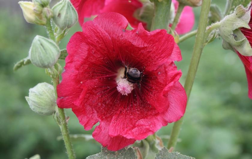 Location de vacances - Gîte à Lafrançaise - les fleurs du jardin.