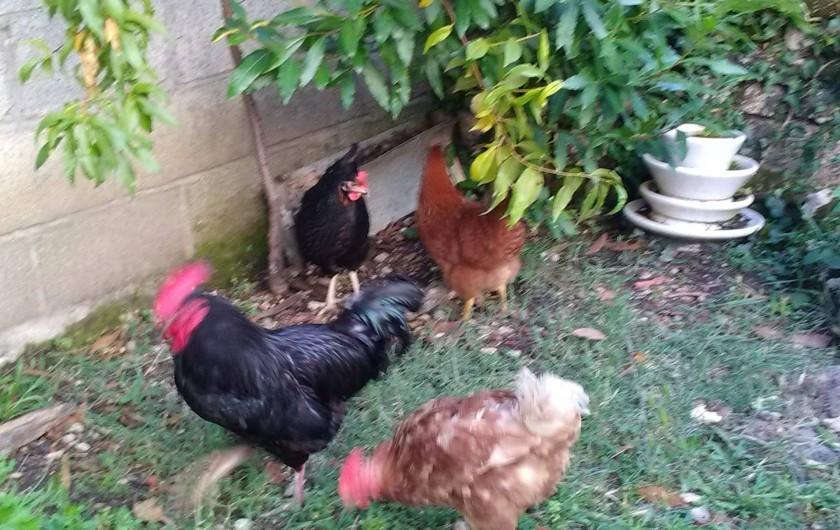Location de vacances - Gîte à Sorges et Ligueux en Périgord - Notre coq et nos poules