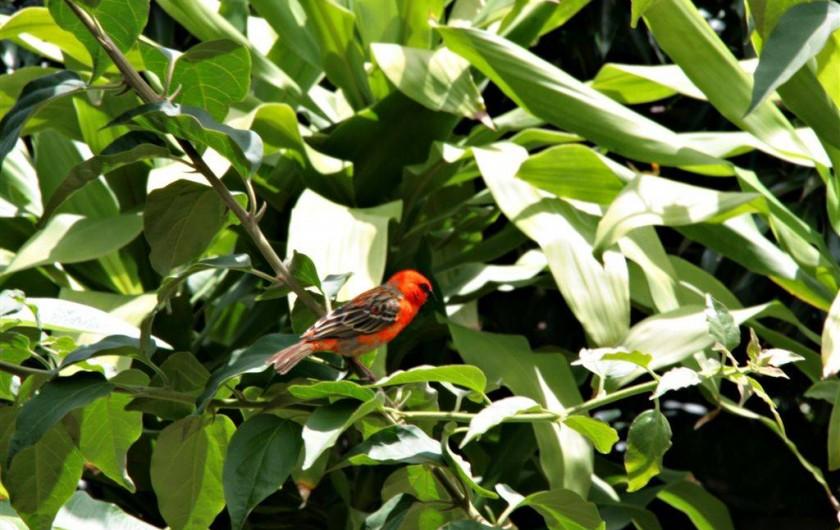 Location de vacances - Villa à Les Avirons - le cardinal présent chaque matin