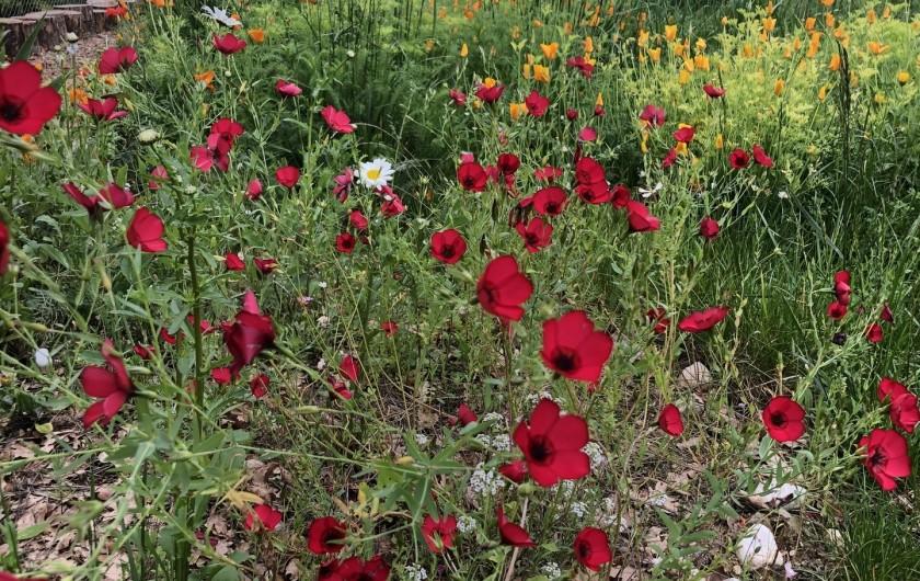 Location de vacances - Gîte à Pernes-les-Fontaines - Fleurs dans la pinède
