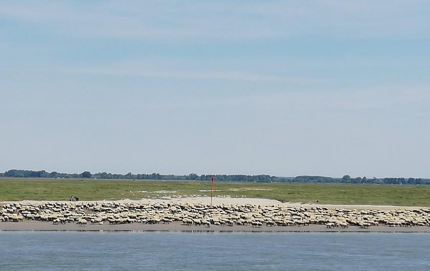 Location de vacances - Appartement à Saint-Valery-sur-Somme - vue des moutons de la baie de somme à marée basse
