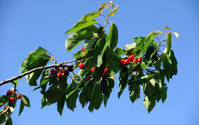 Location de vacances - Gîte à Rigarda - les cerises au mois de mai et juin