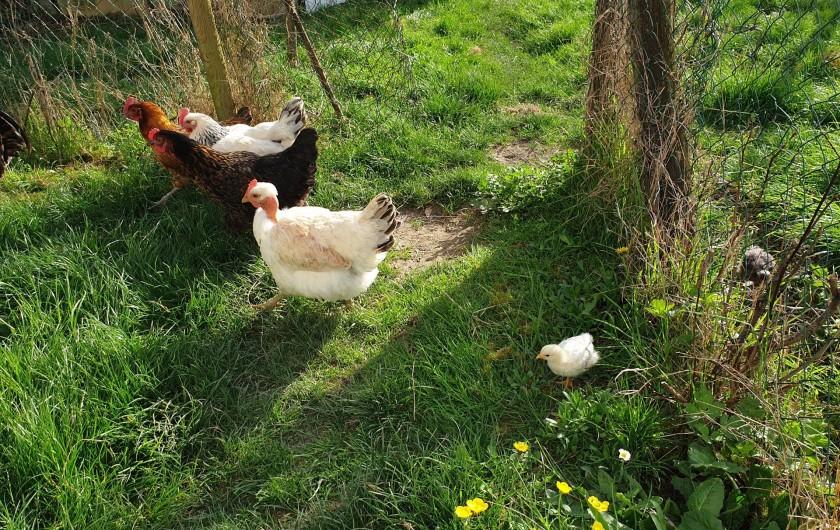 Location de vacances - Gîte à Lafrançaise - Nos poules, elles adorent tous les déchets alimentaires. Merci