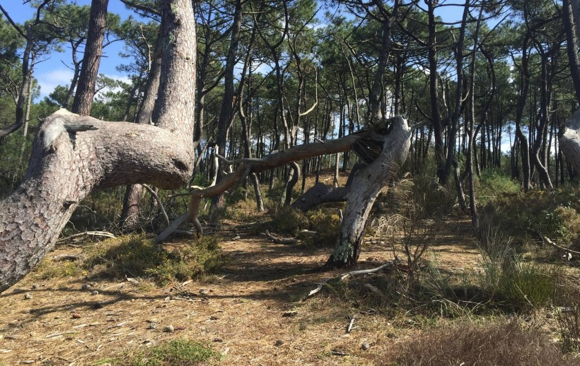 Location de vacances - Appartement à Tarnos - Forêt dunaire