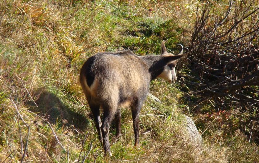 Location de vacances - Gîte à Gérardmer - Ballade sur les crêtes et rencontre avec un chamois