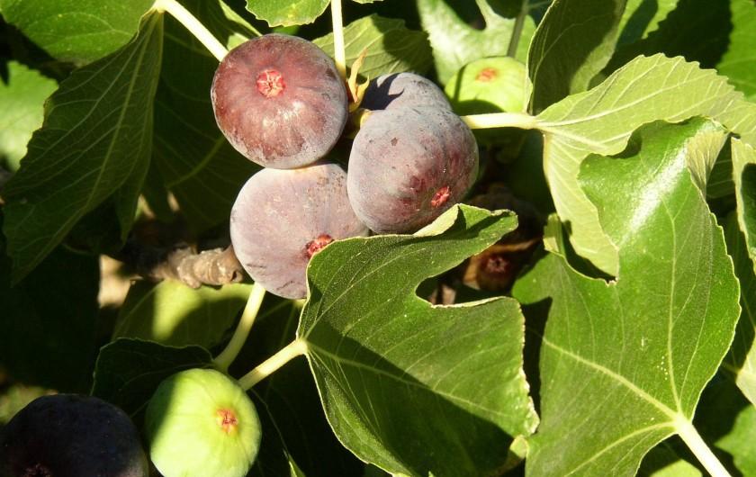 Location de vacances - Gîte à Saint-Jean-de-Serres - les figues à déguster en septembre