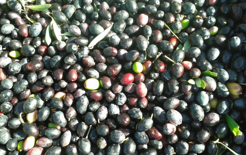 Location de vacances - Gîte à Saint-Jean-de-Serres - cueillette des olives noires   Octobre à Décembre (huile)