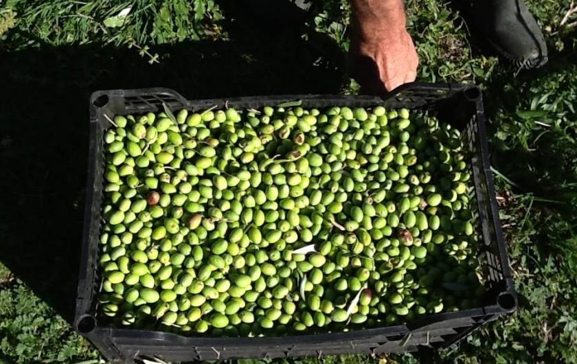 Location de vacances - Gîte à Saint-Jean-de-Serres - cueillette des olives vertes en Septembre (apéritif)
