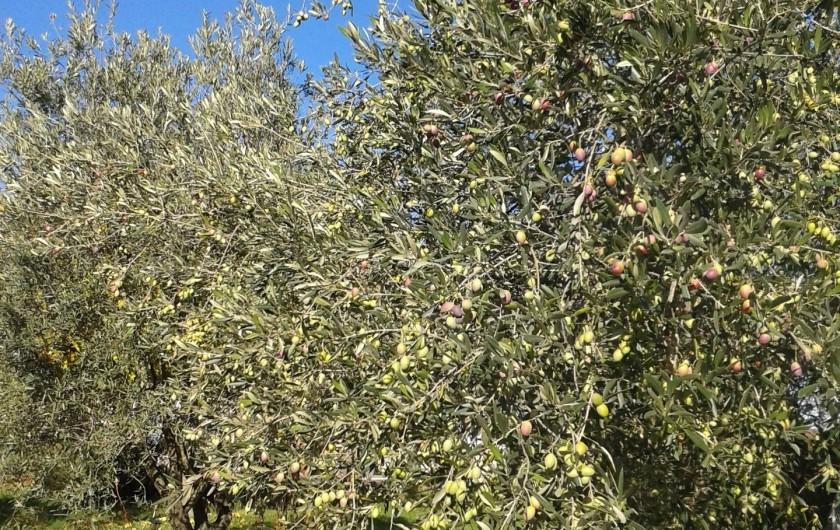 Location de vacances - Gîte à Saint-Jean-de-Serres - La récolte des olives vertes approche.