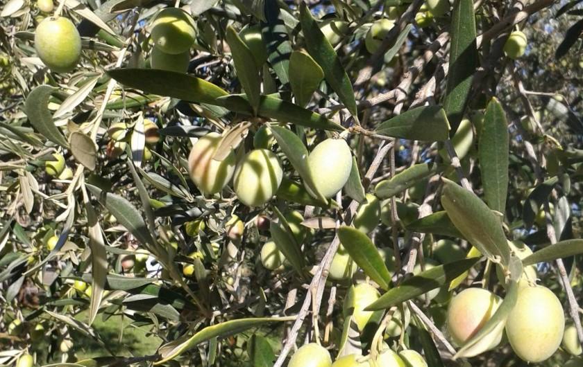 Location de vacances - Gîte à Saint-Jean-de-Serres - Olives vertes