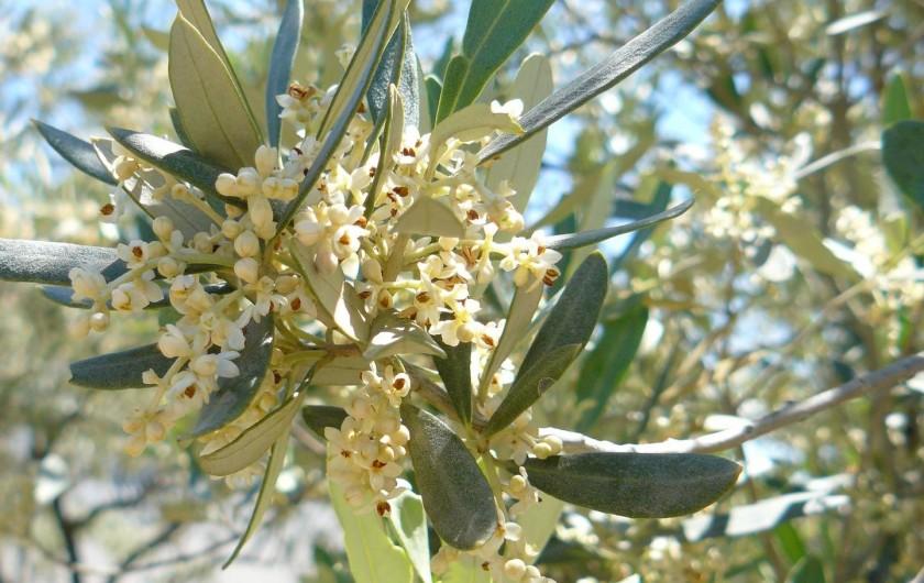 Location de vacances - Gîte à Saint-Jean-de-Serres - olivier en fleurs  mi Avril