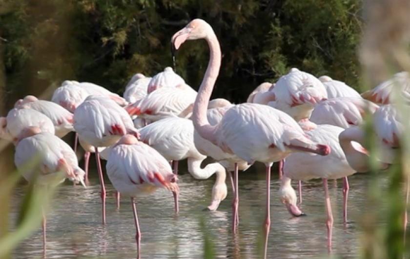 Location de vacances - Gîte à Arles - Le flamant rose oiseau emblématique de Camargue