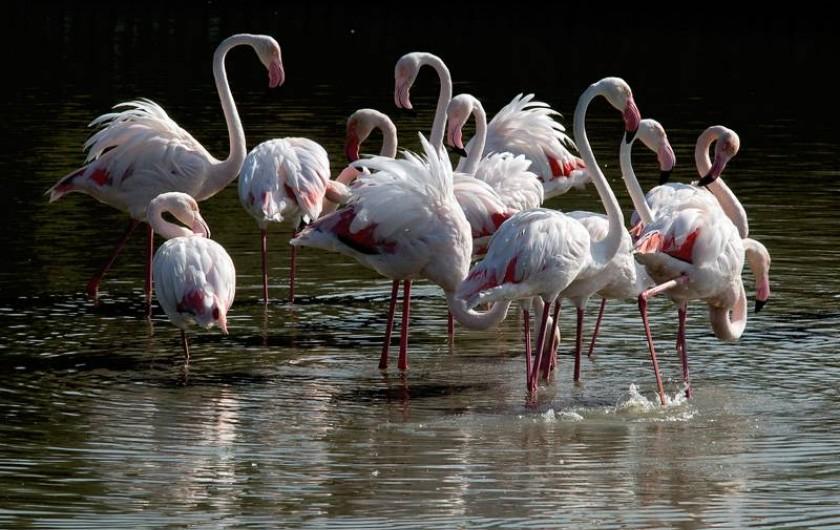 Location de vacances - Villa à Saint-Laurent-d'Aigouze - Flamants roses en liberté en Camargue