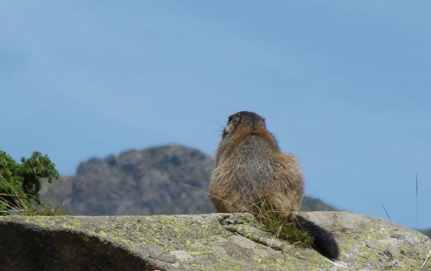 Location de vacances - Chalet à Les Deux Alpes - Une marmotte songeuse...