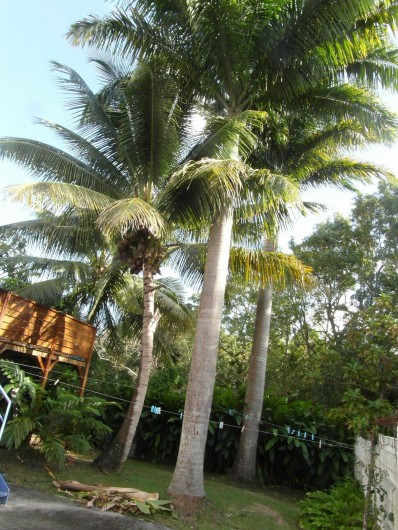 Location de vacances - Chambre d'hôtes à Sainte-Anne - le jardin palmier et noix de coco