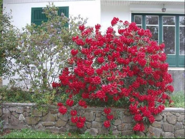 Location de vacances - Maison - Villa à Bidart - rhododendron fleuri à paques