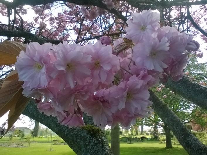 Location de vacances - Chambre d'hôtes à Bois-Guilbert - fleurs de prunus