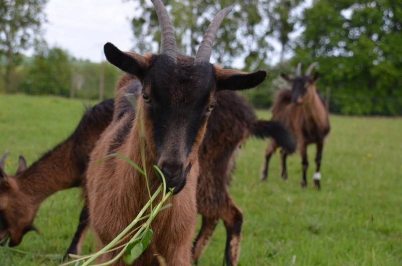 Location de vacances - Chambre d'hôtes à Bois-Guilbert - Ecopaturage grâce à nos 3 chèvres