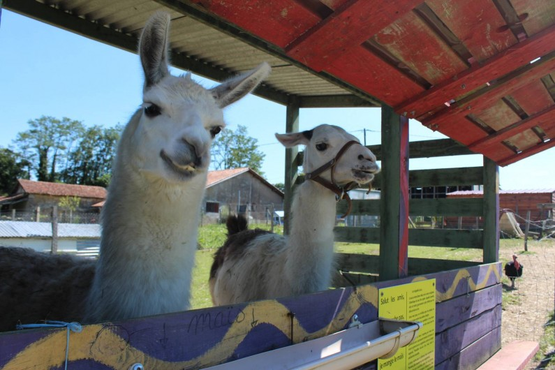 Location de vacances - Appartement à Pouillon - Nos lamas très curieux.