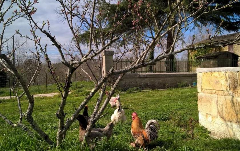 Location de vacances - Chambre d'hôtes à Laruscade - Les poules, pour les oeufs !