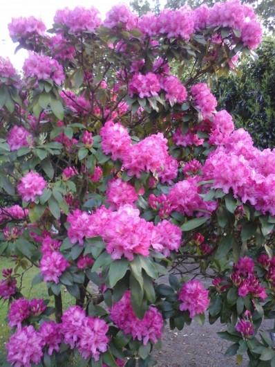 Location de vacances - Villa à Le Pouldu - floraison au POULDU