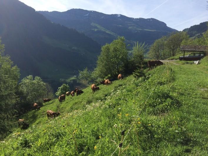 Location de vacances - Appartement à Arêches - Le Beaufort, fromage produit avec le lait des vaches  d'Alpage.