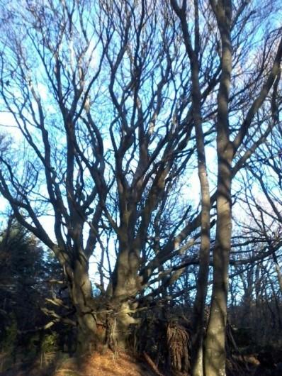 Location de vacances - Chambre d'hôtes à Pélussin - le roi de la forêt: le hêtre