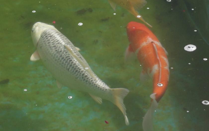 Location de vacances - Appartement à Cortona - poissons japonais