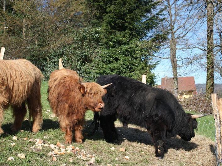 Location de vacances - Gîte à Cleurie - Nous avons quelques animaux, vaches, moutons.