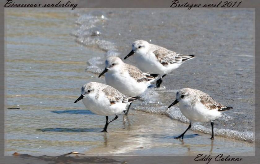 Location de vacances - Chambre d'hôtes à Lanildut - Oiseaux marins