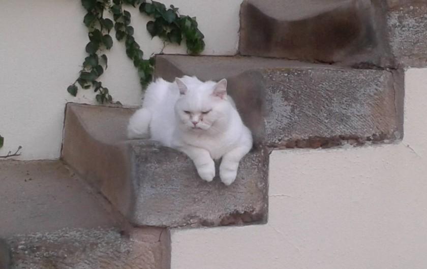 Location de vacances - Chambre d'hôtes à Kuttolsheim - notre chat 'polaire'