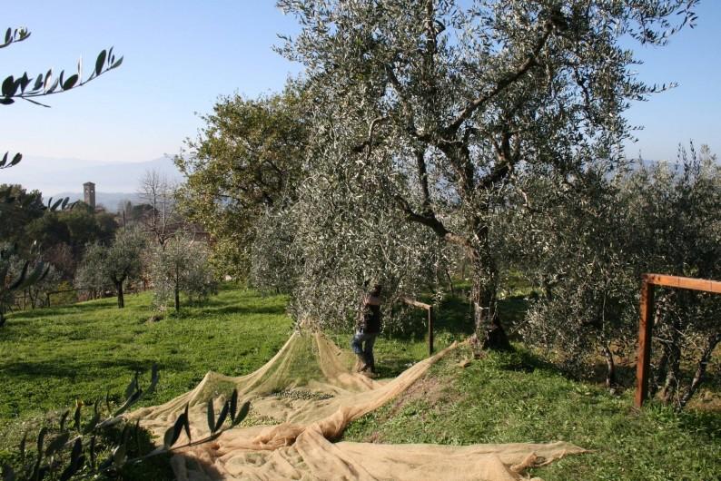 Location de vacances - Appartement à Reggello - Raccolte des olives au mois de novembre