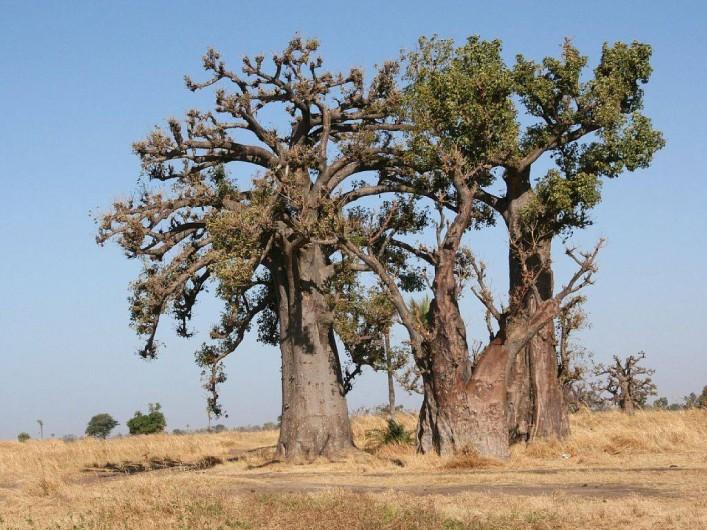 Location de vacances - Villa à Somone - La forêt de baobabs dans la lagune de Somone.