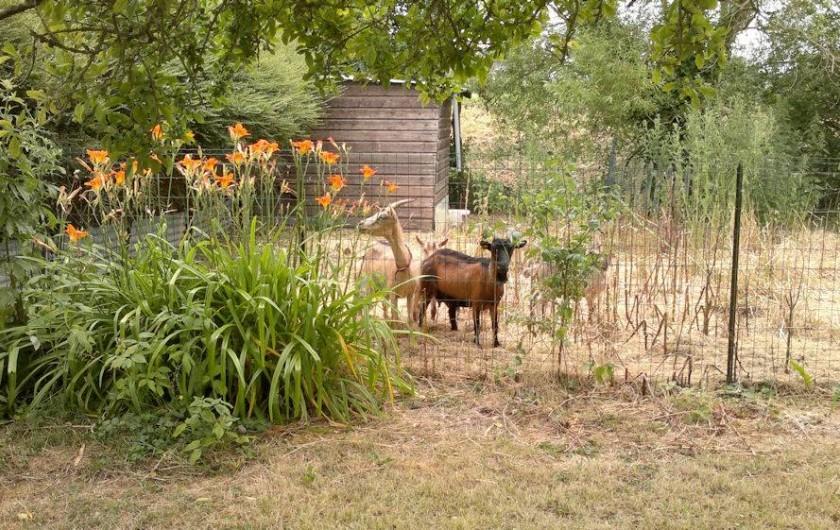 Location de vacances - Chambre d'hôtes à Hirel - nos chevres et nos poules